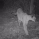 Cougar-earlier trail camera photo